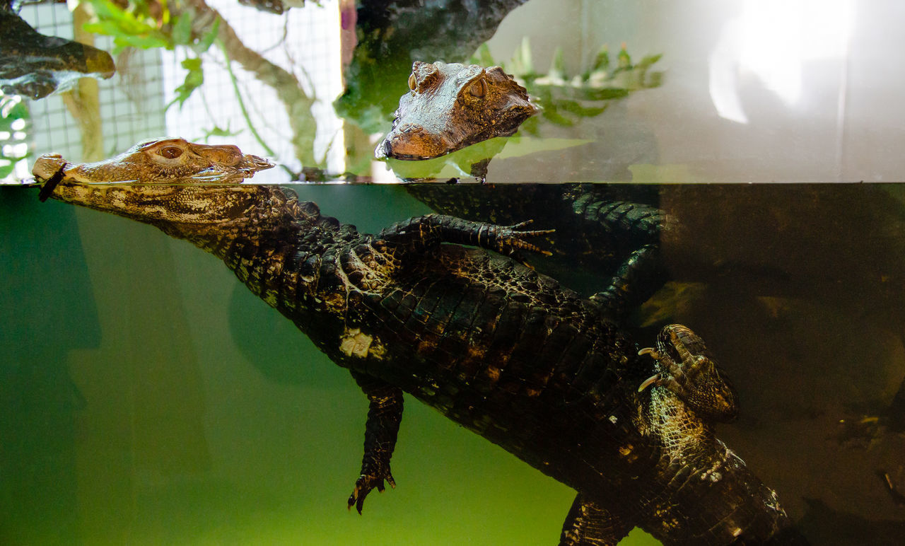 animal themes, animal, reptile, vertebrate, animal wildlife, animals in the wild, one animal, animals in captivity, no people, water, indoors, lizard, nature, transparent, close-up, glass - material, focus on foreground, tank, zoo, animal head, marine
