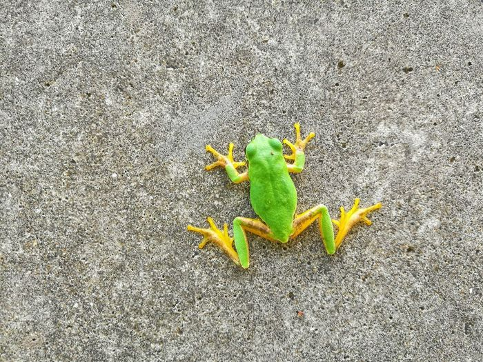 Frogs Green