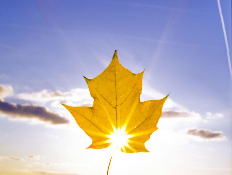 Paint The Town Yellow Sun Star Maple Maple Leaf Sky Sky And Sun Star Effect Sun Sun From Behind Sun Through Leaves Yellow Yellow Maple Leaf