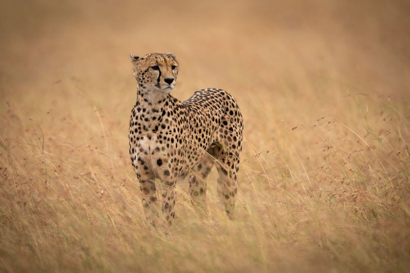 Cheetah standing in long grass raises head Africa Kenya Masai Mara Kicheche Savannah Savanna Grassland Grass Acinonyx Jubatus Cheetah Cat Big Cat Predator Carnivore Nature Travel Safari Animals In The Wild Animal Animal Wildlife Animal Themes Feline Mammal One Animal No People Spotted Looking Vertebrate Survival Hunting Undomesticated Cat