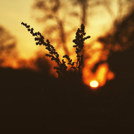 Sunset Nature Growth Silhouette Sky Tree Beauty In Nature Plant No People Landscape Tranquility Outdoors Close-up EyeEmNewHere EyeEmBestPics Bestoftheday Eyeemphotography Best EyeEm Shot Tree Beauty In Nature