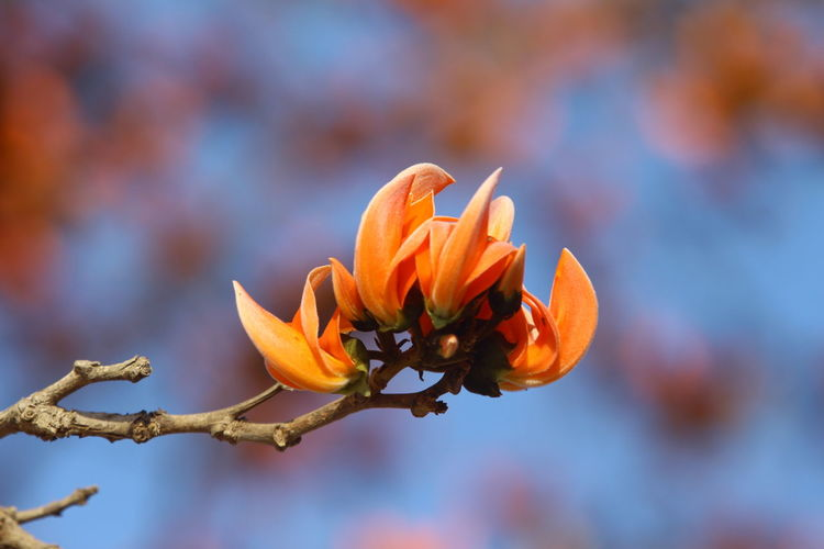 Close-up of orange flower blooming against blue sky