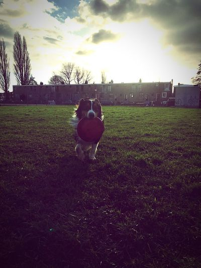 This is Storm with his all time favourite... his frisbees. Sun Having Fun Amsterdam Happiness Running Australian Shepard Australianshepherd Grass Field Domestic Animals Sky Dog Pets Cloud - Sky Nature Day Tree Mammal