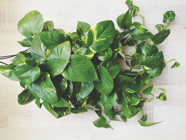 Leaf Herb Green Color Freshness Food Indoors  Wood - Material Scented High Angle View Plant No People Liane Liana Scindapsus