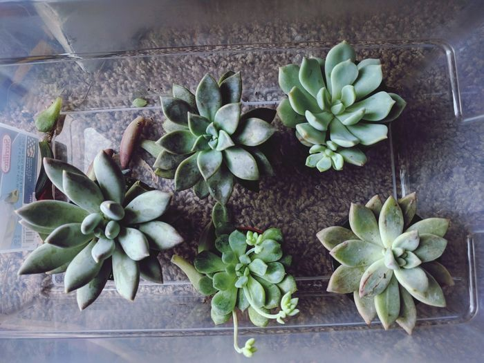 Succulents Graptoveria Echeveria Ghost Plant Plant Growth Green Color No People Herbal Medicine Nature Flower