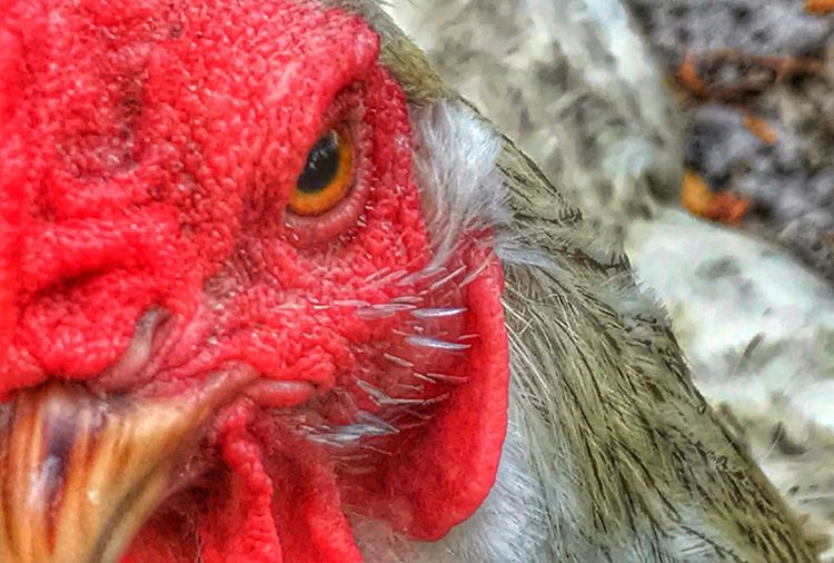 Chicken Fierce Eye Red One Animal Animal Themes Close-up Bird Focus On Foreground Domestic Animals Day Livestock Beak Outdoors Nature