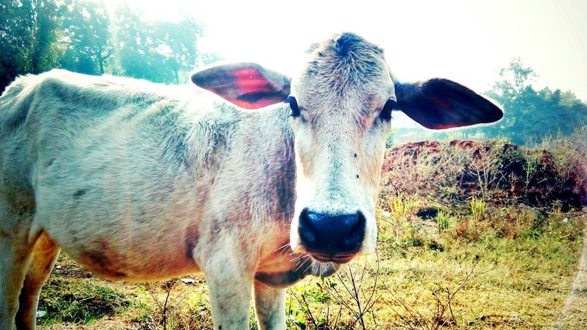 Don't treat animals as animals. Treat them as living beings. That's what they are.... EyeEm Best Shots EyeEm Nature Lover EyeEm Animal Lover Mobile Capture Beautiful Day Morning Light Animals Love Animal Head  Animals Photography Animal Themes Domestic Animals Mammal One Animal Cow No People Day