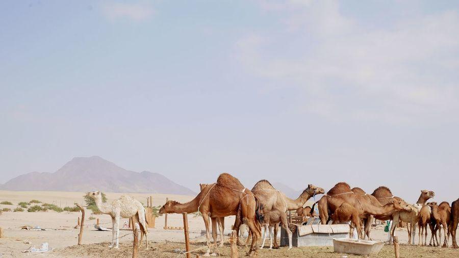The ship of the dessert Mecca Makkah Camel Animal Animals In The Wild Animal Themes Mammal Travel Destinations Desert Nature Outdoors First Eyeem Photo