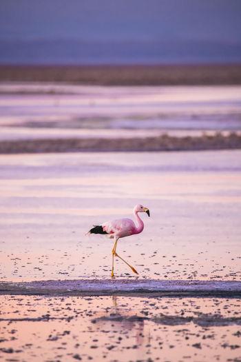 Flamingo at beach during sunset