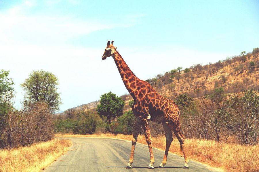 Kruger National Park in South Africa Giraffe The Beatles Abbey Road Majestic Nature Wonderful Nature EyeEm Gallery Love Life The Traveler - 2015 EyeEm Awards