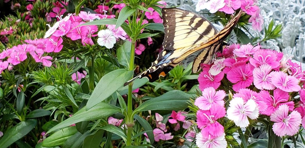 No People Daytime Butterfly Home Depot Garden Flowers Nature Pink Color Flower Head Close-up Plant Butterfly - Insect Pollination Petal Blooming Insect