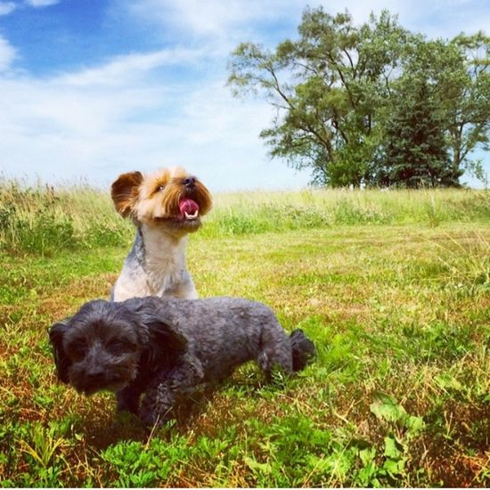 Hot day for a walk in the field with my boys. Summer Dogs YorkieBestShots Dog Dogs Dogstagram Dogslife Beautiful Day Summer Summertime Taking Photos