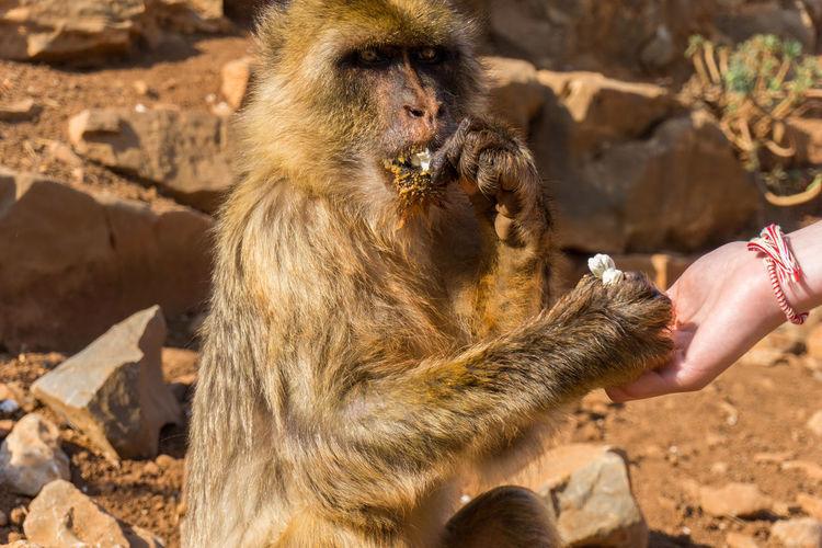 Close-up of hand holding monkey