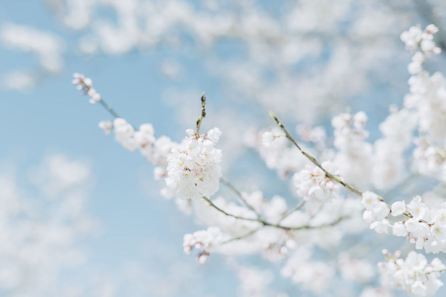 Almond Tree Apple Blossom Apple Tree Beauty In Nature Blossom Branch Cherry Blossom Cherry Tree Close-up Day Flower Flower Head Fragility Freshness Fruit Tree Growth Nature No People Outdoors Plum Blossom Sky Springtime Tree Twig White Color