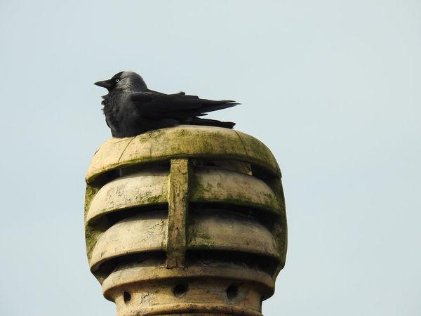 CAU Animals In The Wild Bird Chimmey Chimney Pot Clear Sky Crow No People Raven - Bird Birds Bird Photography Black Bird Cosy