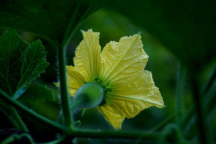 Plant Beauty In Nature Leaf Close-up Plant Part Growth Freshness Green Color Flowering Plant Flower Nature Vulnerability  Fragility No People Selective Focus Petal Day Yellow Inflorescence Outdoors Flower Head Springtime Yellow Vegetable Flower