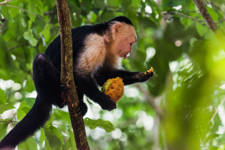 Low Angle View Of Monkey On Eating Fruit On Tree
