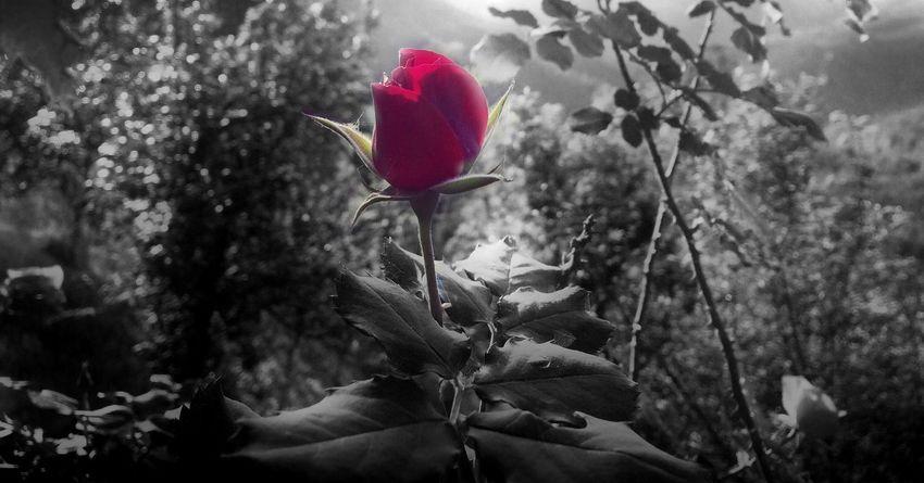 Art Is Everywhere Rose🌹 rose Rosé Redrose