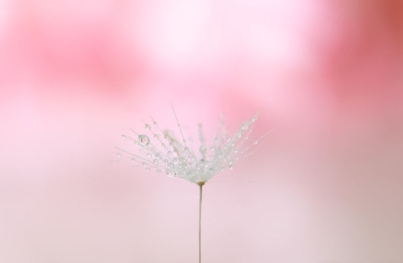 Dandelion seed against soft background