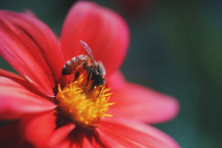 Close-up of honey bee pollinating red flower