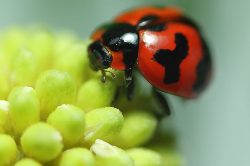 Backgrounds Wallpaper Ladybug Animal Animal Themes Animal Wildlife Animals In The Wild Beauty In Nature Beetle Close-up Flower Focus On Foreground Freshness Green Color Insect Invertebrate Ladybug Macro Nature No People One Animal Plant Selective Focus Small Spotted
