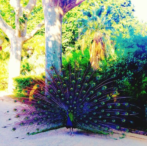 Peacock Feathers Colorful Colors Zoo Barcelona