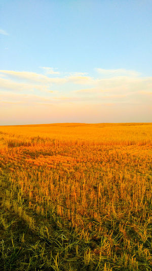EyeEm Selects Nature Agriculture Sky Field Growth Scenics Beauty In Nature No People Outdoors Tranquility Landscape Rural Scene Day Cloud - Sky Summer Plant Freshness Flower Check This Out Montanamoment BigSkyCountry Check This Out 😊 Amber Waves Of Grain