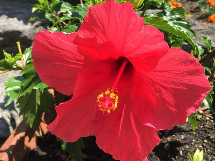 Dipladenia Flower Flower Head Beauty In Nature Nature Growth Plant Blooming Red Maggiatal Tessin