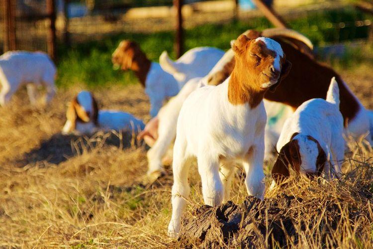 Goat little goat