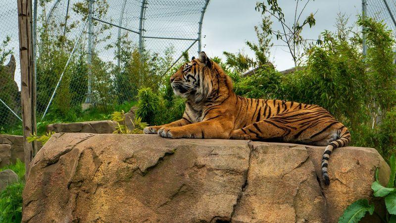 Tiger Animal Animal Themes Feline Mammal Tree Cat Plant