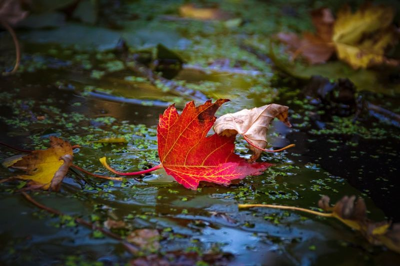 Beauty In Nature Fragility Autumn Red Leaves Season  Change Water Plant Part Nature Lake Leaf Floating No People Reflection Floating On Water Autumn Collection Fallen Leaf Fallen Leaves Fall Falling Puddle Rainy Season Rainfall Wet Monsoon Dried Rain Leaf Vein Weather Autumn Mood My Best Photo