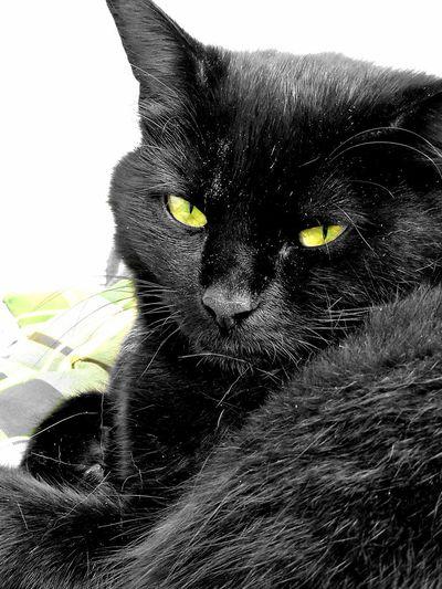 """Mimi""my cat😺 One Animal Domestic Animals Animal Themes Mammal Day Catlovers Cats Eyes Catportrait Cat Of Eeyem Black Black Cat catstar #cat #catnap #catoftheday #catpic #catlovers #catsconnect #catinstagram #catsofinstagram #gato #gatinhos #gatto #garfield #petstagram #premierpet #photooftheday #petsofinstagram #picoftheday #petlovers #instabicho #ilovecats ilovemypet issovici"