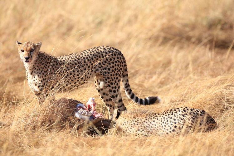 Cheetahs by prey on grassy field