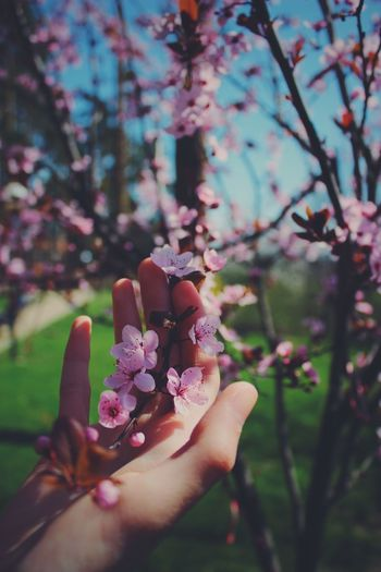 Cropped hand touching cherry blossom tree