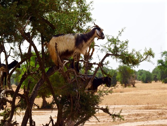 ✨Please do not climb on Argan trees✨ Tree Animal Wildlife Mammal Goat Argan ArganOil Morocco Outdoors Nature No People EyeEm Best Edits Tree Nature Photography Wildlife & Nature Wildlife Photography Great Atmosphere Photooftheday Photography Photo EyeEm Nature Lover EyeEm EyeEm Gallery EyeEmNewHere Eye4photography  Traveling