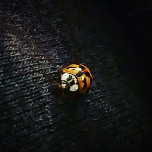 Signs of good luck 🐞👌 Ladybug Spotty Goodluckiscoming Urban Fall Abugslife