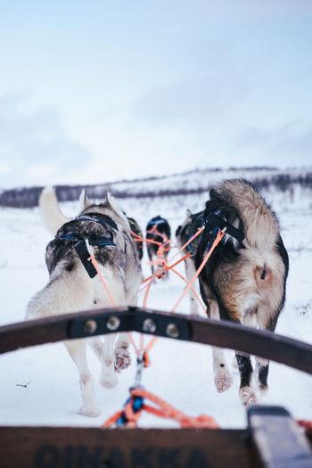 Alaska huskies on dog sled tour in abisko nationalpark.