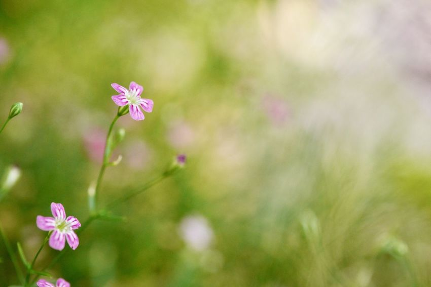 Gypsophila Flower Fragility Growth Nature Beauty In Nature Freshness Day Close-up Outdoors Plant Blooming No People Flower Head