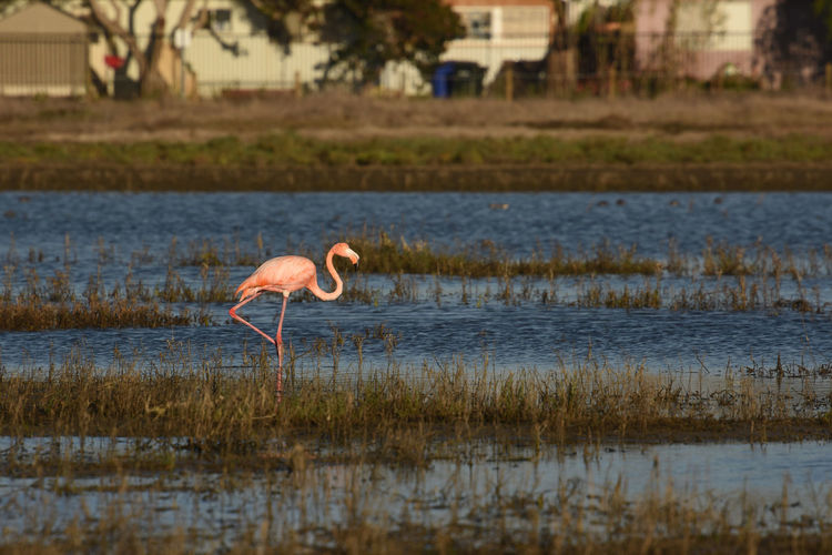 Animal Animal Themes Animal Wildlife Animals In The Wild Bird Flamingo Lake Nature One Animal Outdoors Pink Color Water