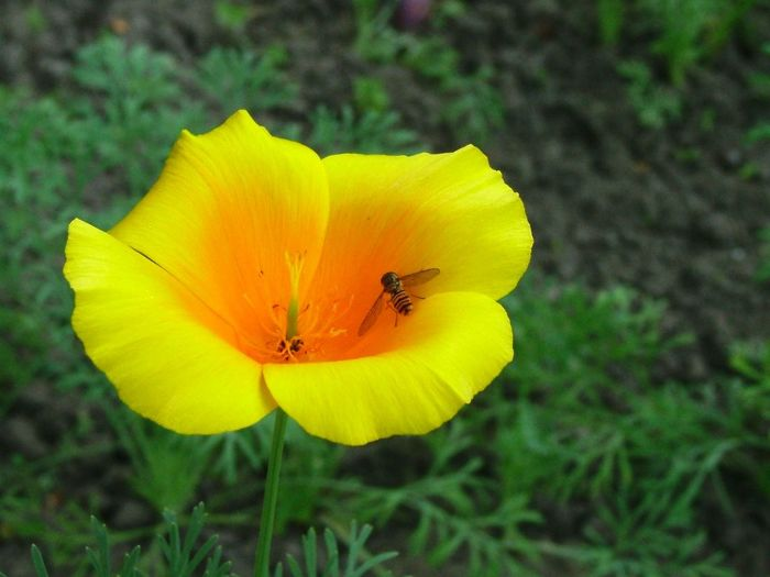 Ábrahámhegy, Balaton, Magyarország Beauty In Nature Bee Botany Canadian Poppy Close-up Flower Flower Head Fly Garden Of Mom Kanadai Pipacs Légy Mamakertje Méhecske Poppy Flowers
