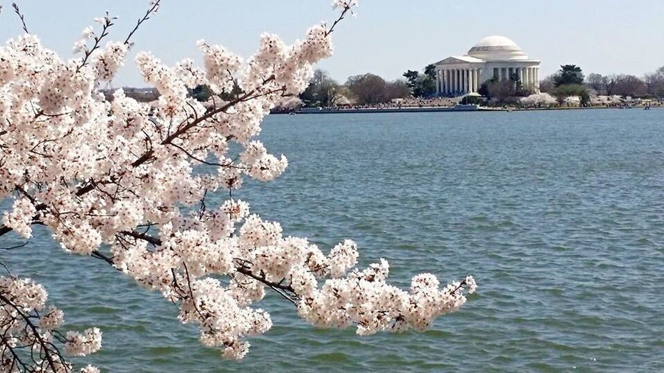 Jefferson Memorial Washington, D. C. Trees Cherry Blossoms Water Tidal Basin NationalMonument