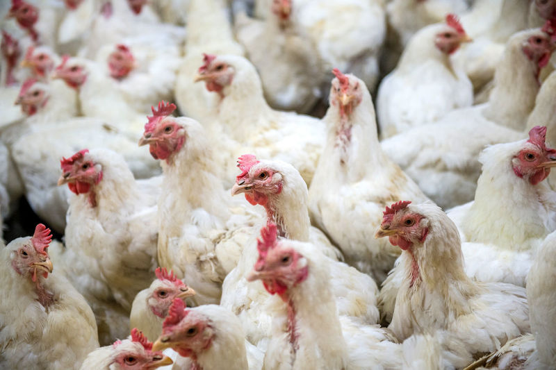 Sick chicken or Sad chicken in farm,Epidemic, bird flu, health problems. Agriculture Animal Themes Bird Chicken - Bird Close-up Cockerel Day Domestic Animals Farm Hen Large Group Of Animals Livestock Nature No People Outdoors Poultry Rooster Rural Scene White Color Young Bird