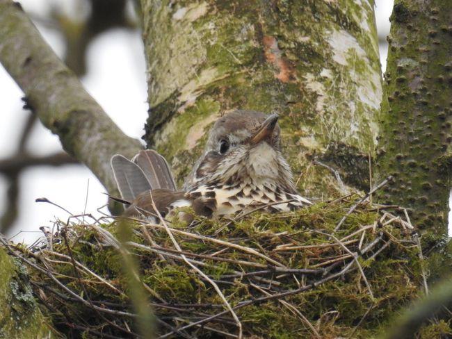 Mum to be Bird Mistle Thrush One Animal Nature No People Outdoors Bird Nest Nature Nesting Nesting Birds Wildlife & Nature Not Cropped