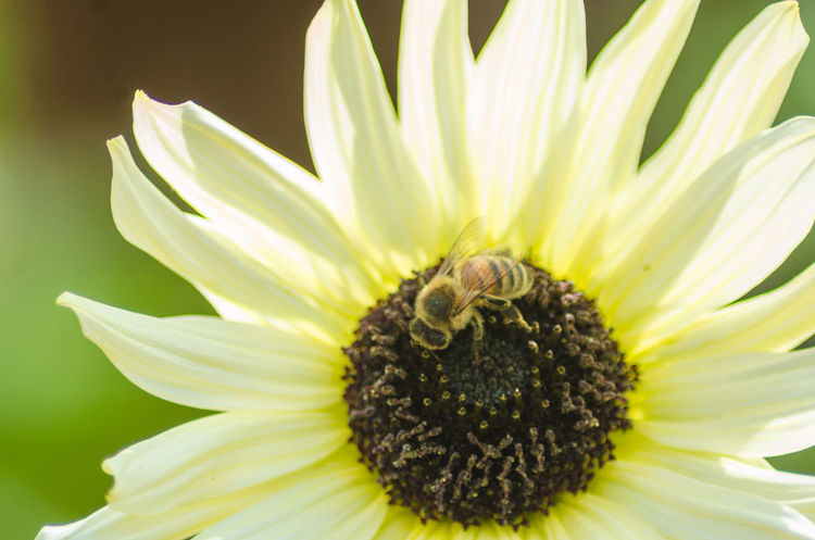 A bee on a 'Valentine' sunflower. Valentine Animal Wildlife Beauty In Nature Bee Close Up Close-up Closeup Flower Flower Head Flowering Plant Fragility Freshness Growth Nature One Animal Outdoors Petal Petals Plant Pollination Pollination In Action Vulnerability  Yellow