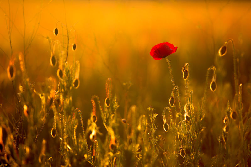 Agriculture Beauty In Nature Close-up Crop  Field Flower Focus On Foreground Fragility Freshness Grass Growth Landscape Nature Plant Red Rural Scene Selective Focus Stem Sunset Tranquil Scene Tranquility Colour Of Life