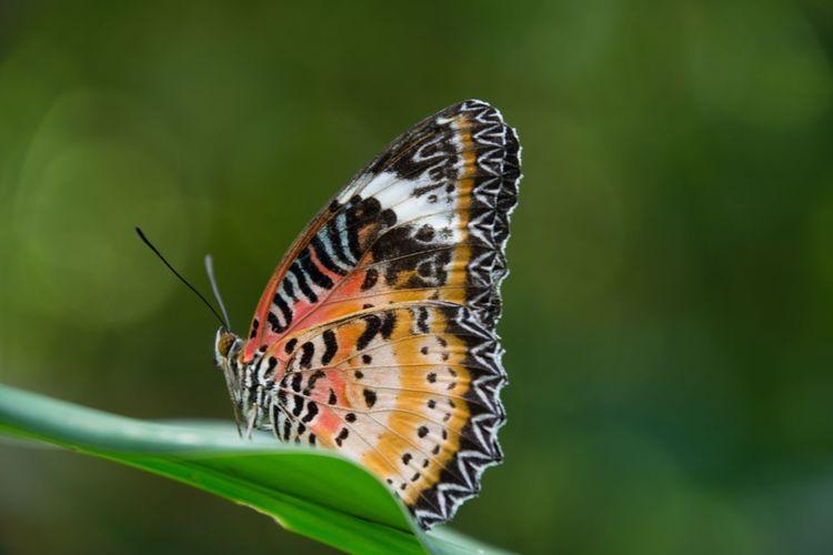 Butterfly on leaf - leoparden lacewing