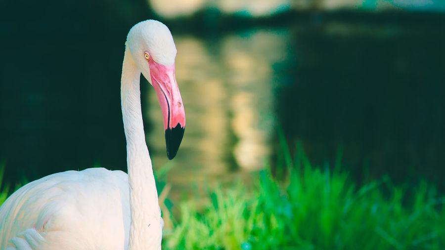 flamingo in the