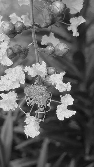 Blackandwhite Photography Plant Life Whiteblossoms Masterlytake Close-up Beauty In Nature Naturesart Fragility