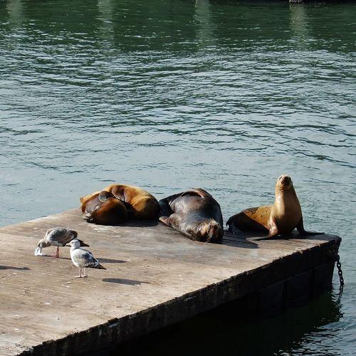 Seal San Francisco Animal Seaside Sea Fisherman's Wharf Pier 39 Marina Bay California USA Sanfrancisco Weather Lazy Wildlife Nature TOWNSCAPE Sleepy Sleeping Wake Spring Seamew Sea Mew Sunnysunday Daydreaming
