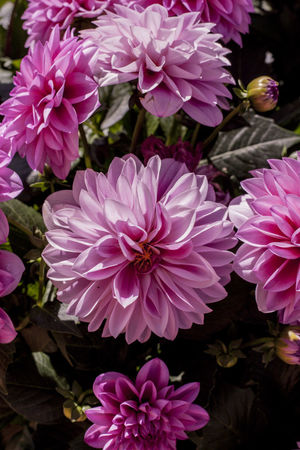 Inner Power Beauty In Nature Blooming Botany Close-up Dahlia Day Flower Flower Head Flowering Plant Fragility Freshness Growth High Angle View Inflorescence Nature No People Outdoors Petal Pink Color Plant Pollen Purple Springtime Vulnerability